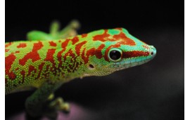 Gecko géant de Madagascar (Phelsuma madagascariensis (grandis))