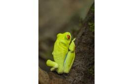 Rainette aux yeux rouges - Agalychnis callidryas