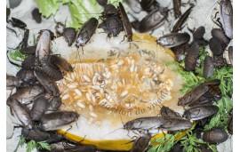 Rhyparobia maderae