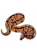 Pin's python