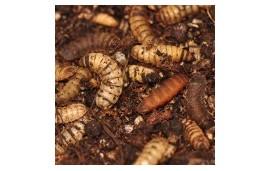 Pro Worms, Hermetia Illucens
