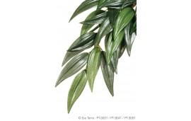 Ruscus plante