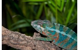 Furcifer pardalis Ambanja blue