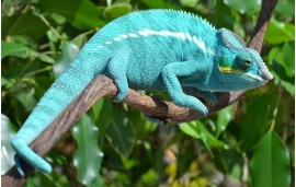 "Furcifer pardalis Nosy be ""true blue"""