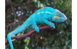 "Furcifer pardalis Nosy be ""true blue"""