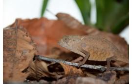 Rampholeon brevicaudatus