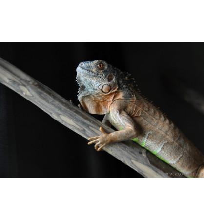 Iguana iguana red