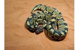 Python regius vanilla