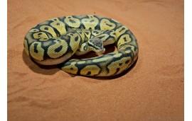 Python regius pastel