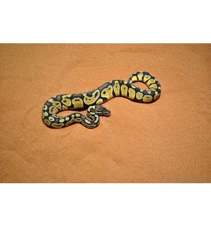 Python regius pastel fader