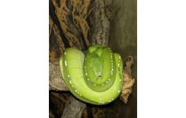 "Morelia viridis ""Manokwari"""