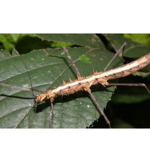 Acanthomenexenus polyacanthus